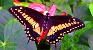farfalla-tropicale